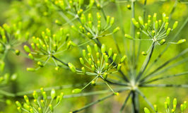 Green umbrella dill. Agricultural field on which grow green immature umbrella dill, shallow depth of field Stock Image