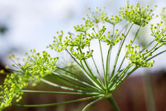 Green umbrella dill. Photographed close-up of unripe green umbrella dill, shallow depth of field Royalty Free Stock Photos