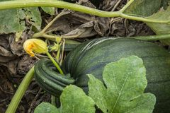 Green un-ripe pumpkin stock photography
