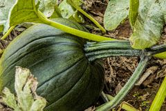 Green,un-ripe pumpkin stock image