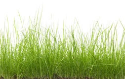 Green uncut grass Stock Images