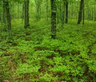 Green undergrowth in a forest Royalty Free Stock Photo