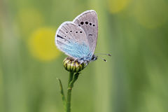 Green-underside blue (Glaucopsyche alexis) - butterfly Stock Image