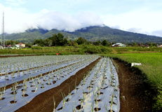 Green union farm. With mount marapi background at west sumatra indonesia Stock Photography