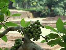 Green unknown exotic plant. Green exotic plant, Sri Lanka royalty free stock images