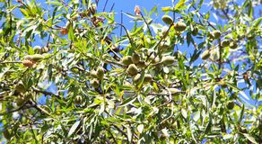 Almond tree with green almonds on a blue sky background. Green Unripe almonds on almond tree. Almond tree with green almonds on a blue sky background Royalty Free Stock Images