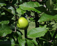 Green unripe apple on branch with leaves Stock Image
