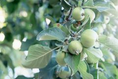 Green, unripe apples on a branch royalty free stock photos