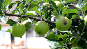 Green unripe apples on branch with leaves Royalty Free Stock Photo