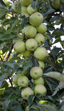 Green unripe apples Stock Photography