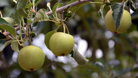 Green unripe apples Royalty Free Stock Photos