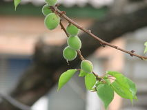 Green unripe apricots on a tree branch Stock Photography