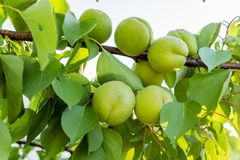 Green unripe apricots on a tree branch in the garden. Maturing apricots on tree branch during spring time, fruit development stock photography