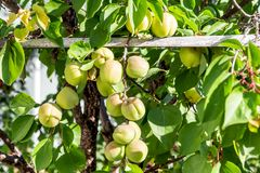 Green unripe apricots on a tree branch in the garden. Maturing apricots on tree branch during spring time, fruit. Development stock photography