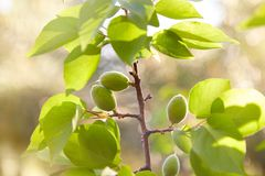 Green unripe apricots on a tree branch stock images