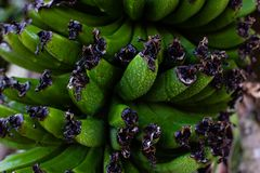 Green unripe banana bunch with water drops royalty free stock images