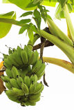 Green Unripe Bananas Stock Image