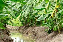 Green Unripe Bananas in Thailand Stock Photos