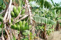 Green Unripe Bananas in Thailand Stock Photo