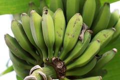Green unripe bunch of bananas growing on banana tree Stock Image