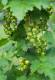 Green unripe bunch of red black redcurrant currant bush tree plant Stock Photos