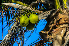 Green unripe coconuts. Green coconuts hanging on a coconut tree Royalty Free Stock Image