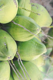 Green unripe coconuts on tree Stock Image