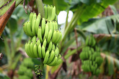 Green and unripe cultivar bananas Royalty Free Stock Image
