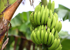 Green and unripe cultivar bananas Royalty Free Stock Photos