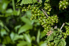 Green unripe currant Stock Images