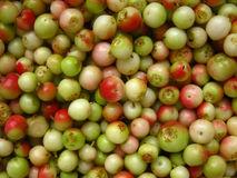 Green, unripe fruits harvested lingonberry Stock Photo