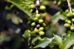 The green unripe grain of coffee Stock Photo