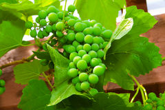 Green unripe grape Royalty Free Stock Images