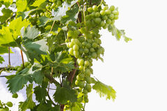 Green unripe grape Royalty Free Stock Photo