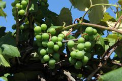 Green Grapes growing on a vine. Green unripe grapes growing in a Vineyard royalty free stock image