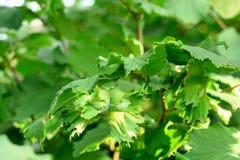 Green unripe hazelnuts on a tree. Growing hazelnuts in a garden royalty free stock photo