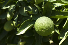 Green unripe orange fruit Stock Images