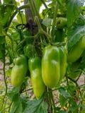 Organic Bio Tomatoes. Green unripe Organic Bio Tomatoes in a traditional garden royalty free stock photos