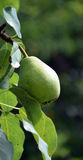Green unripe pear Royalty Free Stock Image