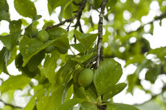 Green unripe plums stock photo