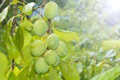 Green unripe plums on the branch in the garden. The harvest season royalty free stock images