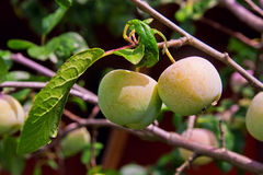 Green unripe plums on the plum tree. Royalty Free Stock Photo