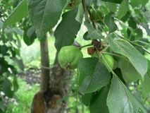 Green apples in the garden royalty free stock photography