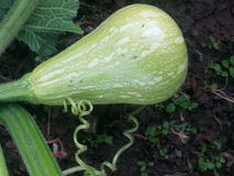 Green unripe squash. An immature squash growing in the garden Stock Photos