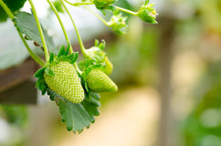 Green unripe strawberries on plant Royalty Free Stock Image