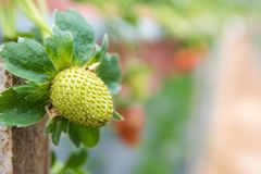 Free Green Unripe Strawberry In Grrenhouse In The Mountains Of Malaysia Stock Photo - 155595940