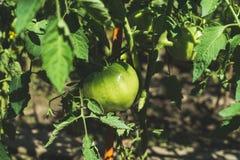 Green unripe tomato on branch in vegetable garden stock photo