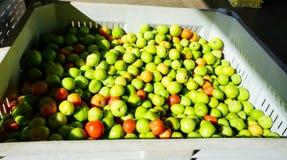 Green unripe tomato Stock Images