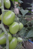 Green unripe tomato`s hanging on a tomato plant in the garden, selective focus Royalty Free Stock Image