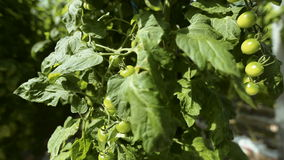 Green unripe tomatoes on a branch stock video footage